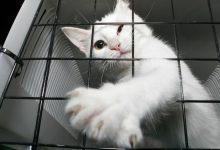 Photo of El ingenioso plan de un hombre al que una aerolínea le prohibió viajar con su gato en cabina por estar muy gordo